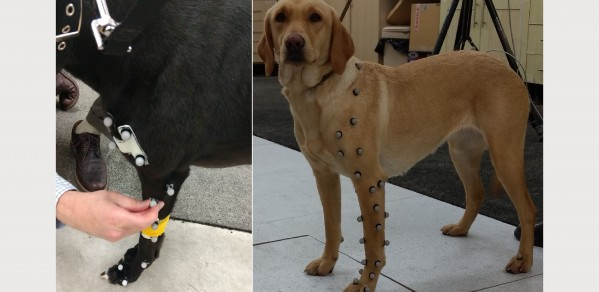 Dogs with markers attached to the fur, that enable 3-dimensional motion capture techniques to model the forces on the dogs elbow joints as it moves