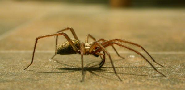 Large house spider on kitchen floor
